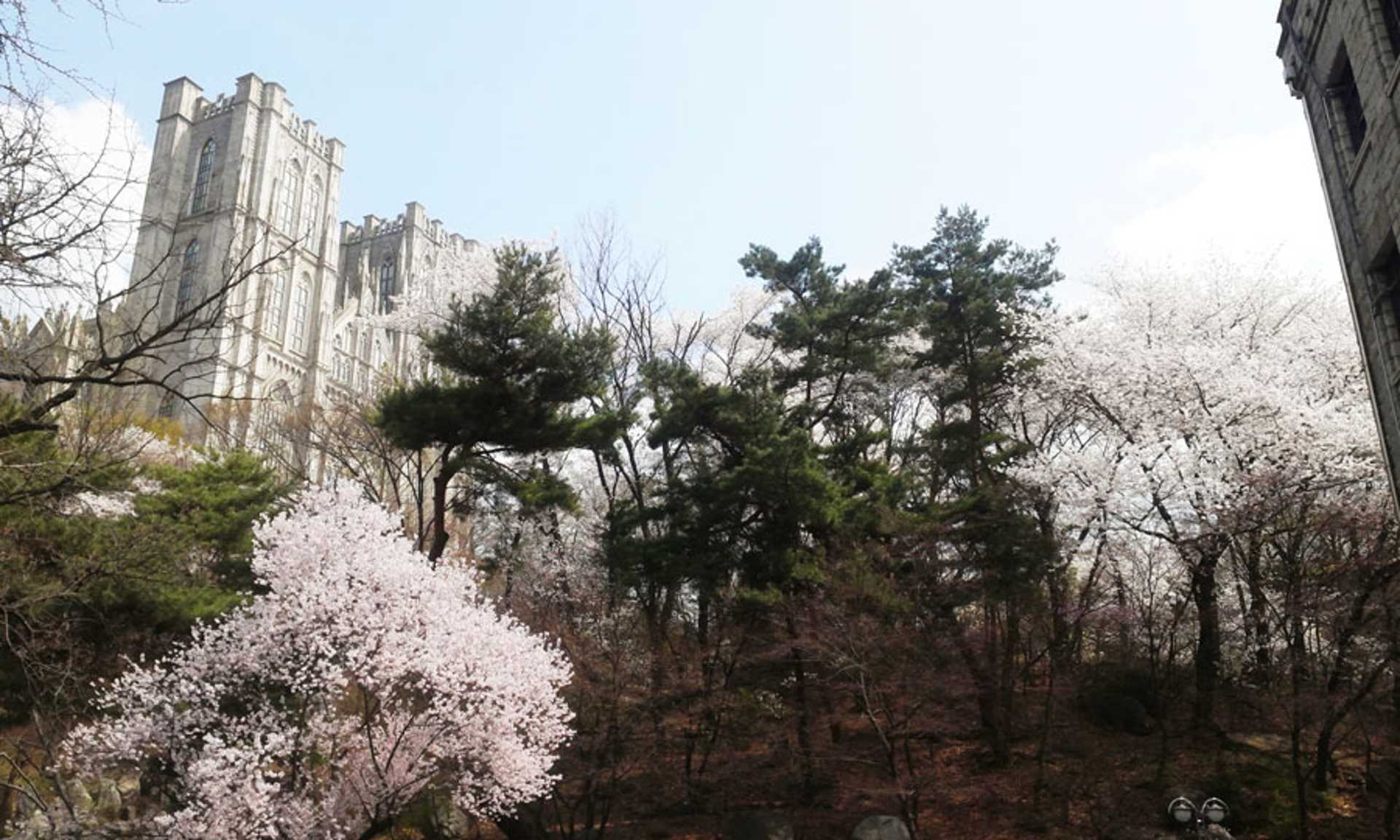 kyung-hee-university-seoul-spring-cherry-blossoms