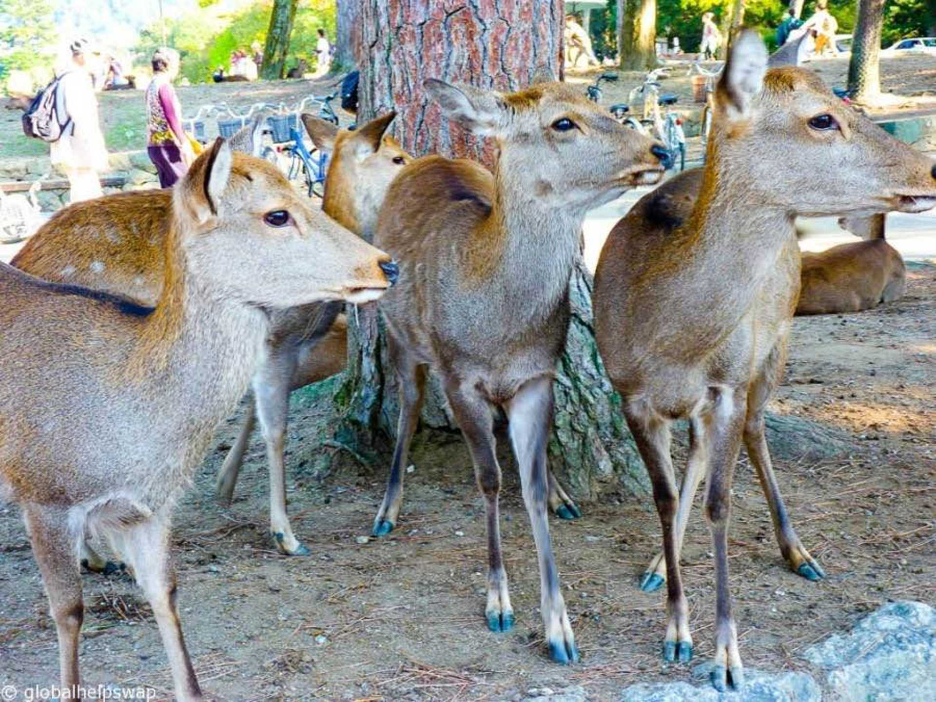 Hang out with the adorable sika deers