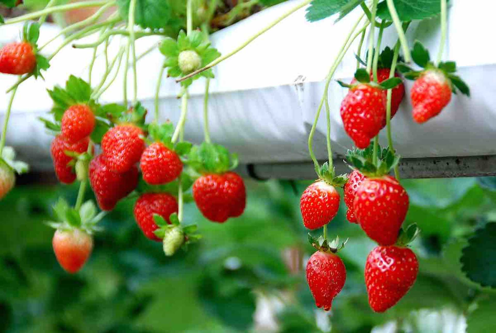 Fresh ripe strawberries for you to pick!