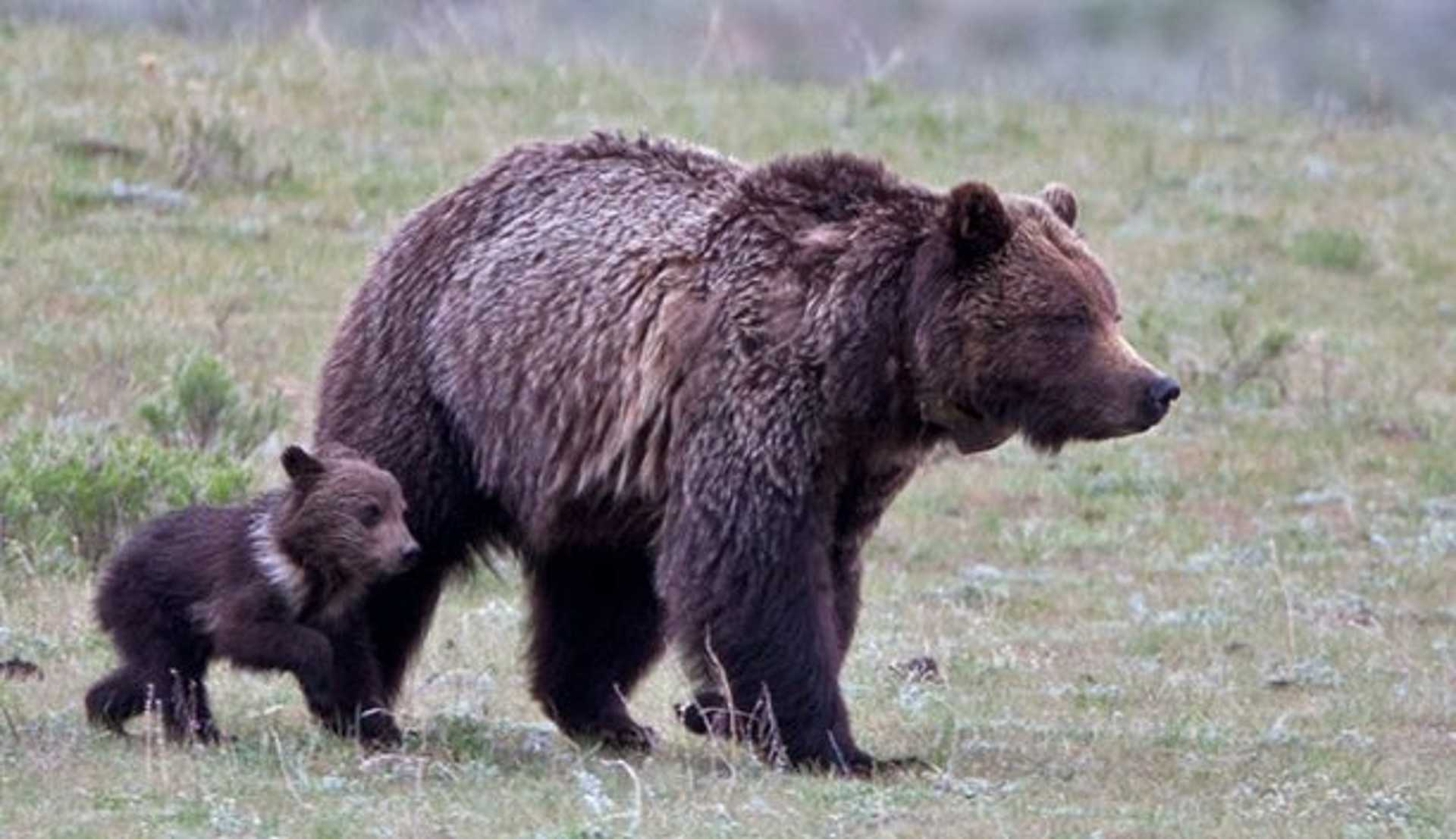27-yellowstone-national-park-grizzly-bears