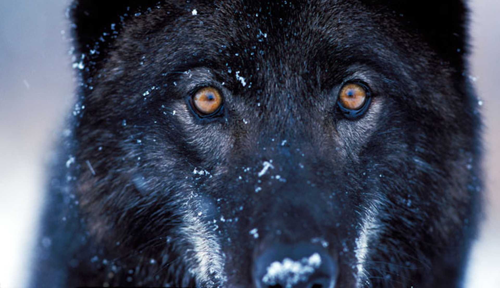 28-yellowstone-national-park-grey-wolves