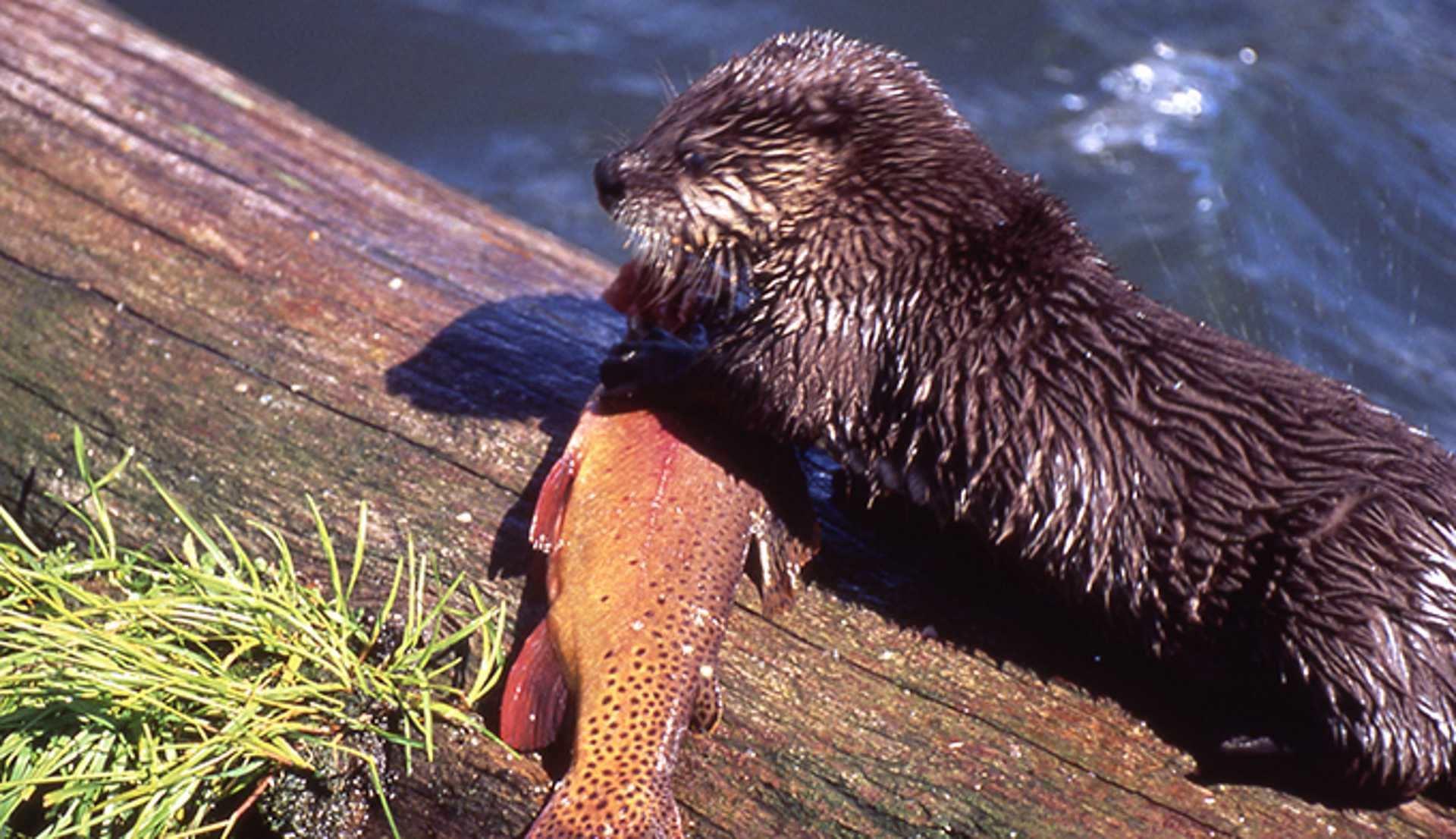 29-yellowstone-national-park-river-otters