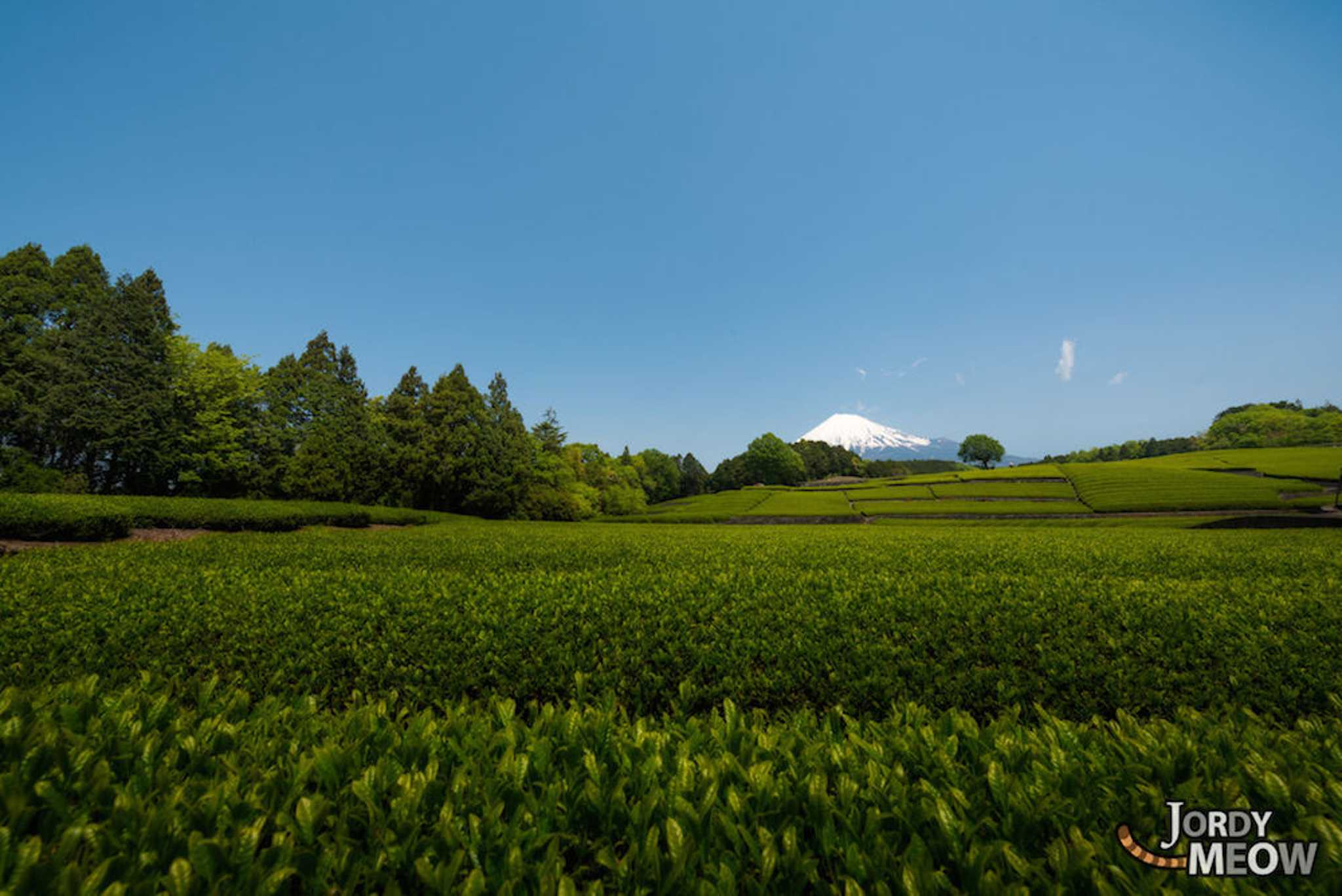 Shizuoka accounts for 45% of Japan's overall tea production, and the prefecture is at the leading-edge of research on the benefits that can be obtained from green tea. Green tea plantations date back to 1241.